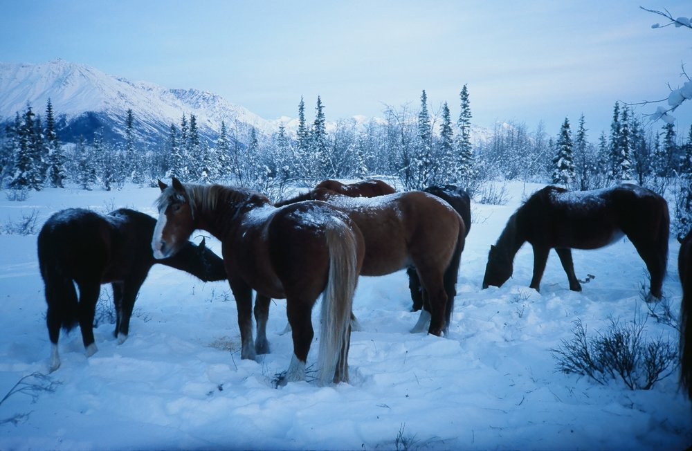 The horses roaming around in the winter.  In the early years, we would go up and check on them once during this time of the year.
