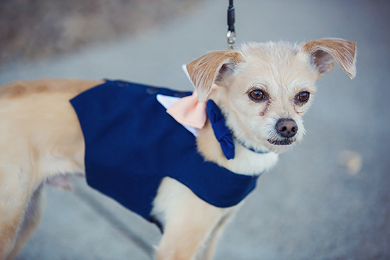 My first born, Chowder, serving as the ring bearer. Navy Blue and Peach dog tuxedo from  Yvettes Little Shop.