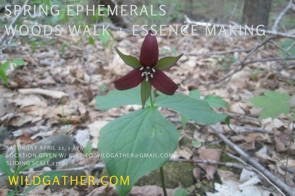 spring ephemerals class - Spring ephemerals are perennial woodland plants that quickly bloom, seed, and disappear into dormancy - just as the trees begin to leaf out. This is a powerful + special time to witness these ancient plants. Let's meet at one of our spots in the woods and do so. Many of our native, spring ephemerals are endangered or at-risk. We'll discuss the impact of over-harvesting + strategies on how we can be better allies to these woodland wonders by making an ephemeral flower essence without harvesting the plant.Saturday, April 22nd, 1 p.m.- 4 p.m.Sliding Scale $35- 55Location will be given upon R.S.V.P to wildgather@gmail.com