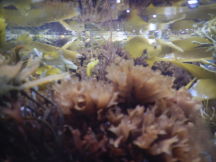 medicinal seaweeds - join us monday april 22nd, 6:30-8:30pm to explore medicinal + culinary uses of seaweeds w/ Micah Woodcock of Atlantic Holdfast Seaweed Company. we'll discuss the biology, ethnobotany, and traditional and modern uses of 8 of the most abundant seaweeds of the North Atlantic. sample a variety of sea vegetable preparations, and learn about ways to incorporate this unique food group into your diet and healthcare regimen. in addition to their outstanding nutritional profile, seaweeds have been specifically indicated for thyroid support, protection from radiation, chelation of heavy metals, and the treatment and prevention of cancer.Micah Woodcock is the owner/operator of Atlantic Holdfast Seaweed Company, a small business working to sustainably hand-harvest sea vegetables in Penobscot Bay, ME, since 2010. our harvesting operation is based on a remote island 7 miles offshore, where the strong currents,active surf, and full exposure to the open ocean have allowed these seaweeds to thrive for millennia.@ Good Fight Herb Shop 253 1/2 Warren St., Hudson // 6:30-8:30pm // $20-35 sliding scaleclass size is limited, RSVP to hold your space! goodfightherbco@gmail.com