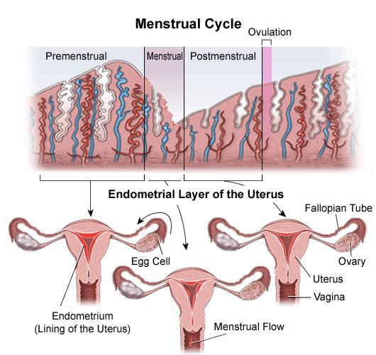 Endometrial Lining