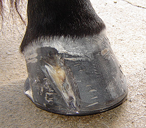 100% sound with new healthy hoof growth