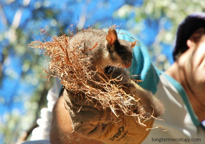 David Lindenmayer and his team have been researching the endangered Leadbeater's Possum for over 30 years.