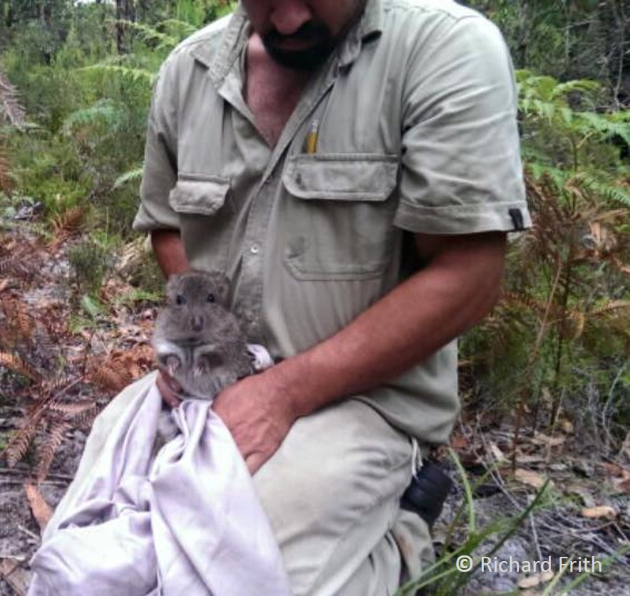 It is encouraging to find healthy individuals of Long-nosed Potoroo on our trapping camps