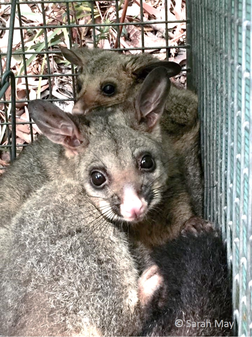 Mum and bub Common Brushtail Possum are commonly recorded in the Jervis Bay Fire Study - both in traps and on spotlight surveys