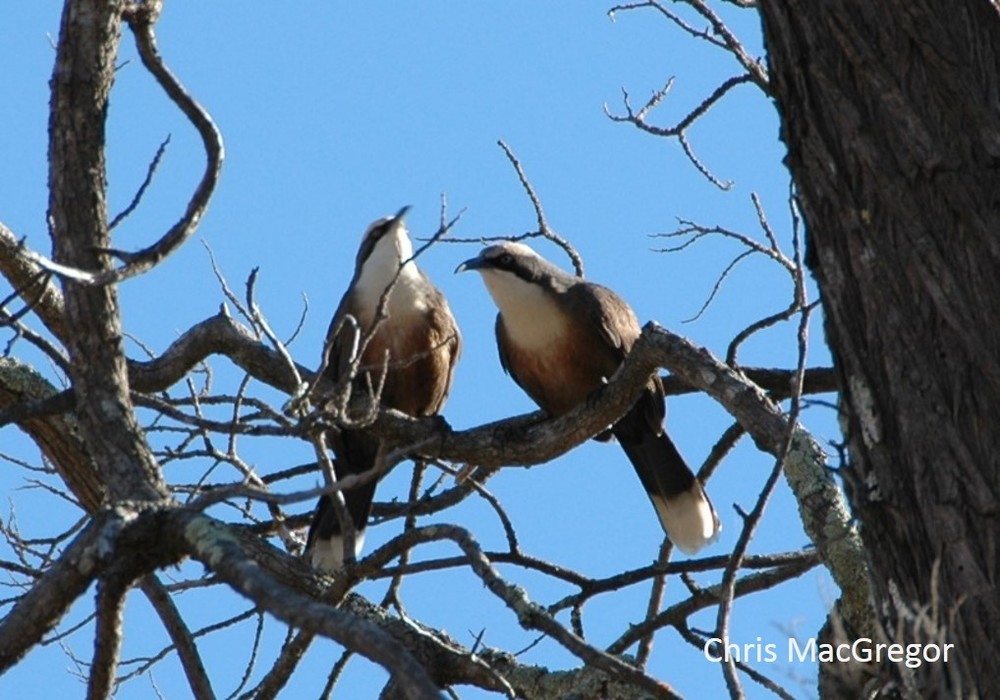 babblers watermarked jpg.jpg