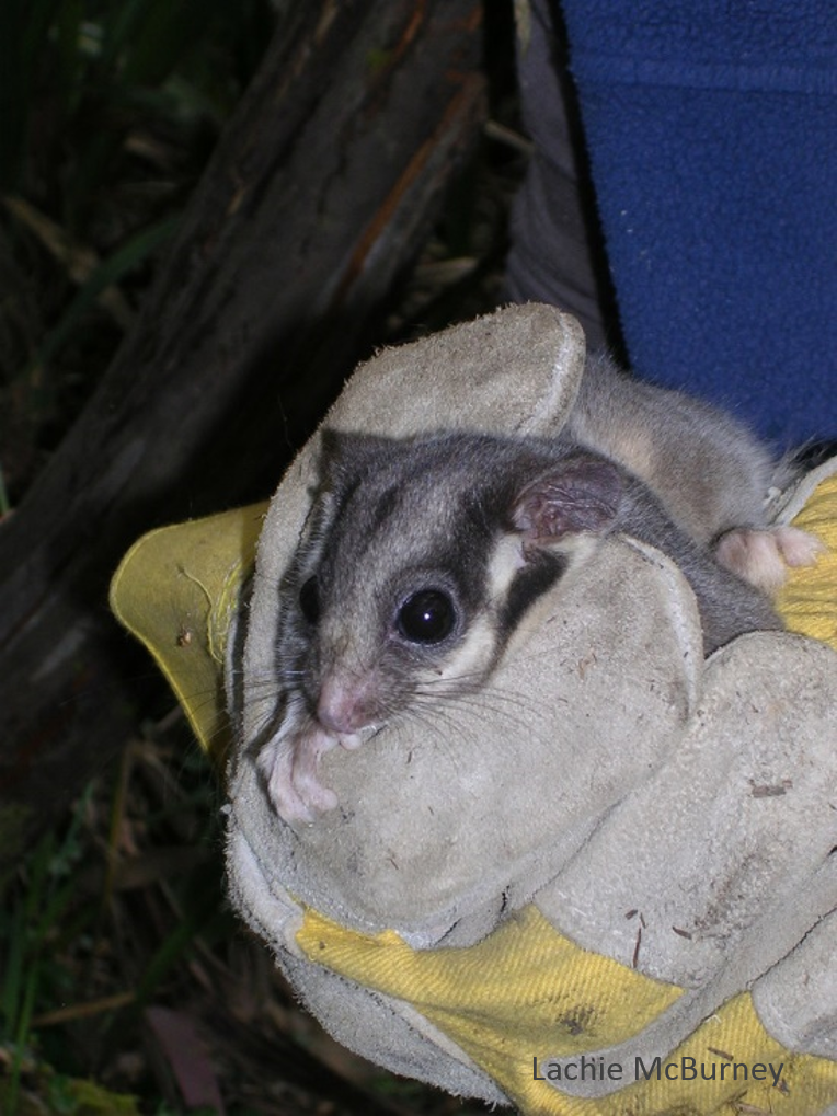The critically endangered Leadbeater's Possum Gymnobelideus leadbeateri.