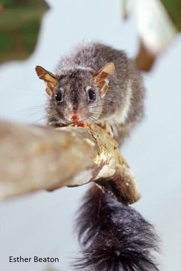 The Brush-tailed Phascogale ( Phascogale tapoatafa ), with it's distinctive black brushy tail (Photo: Esther Beaton)