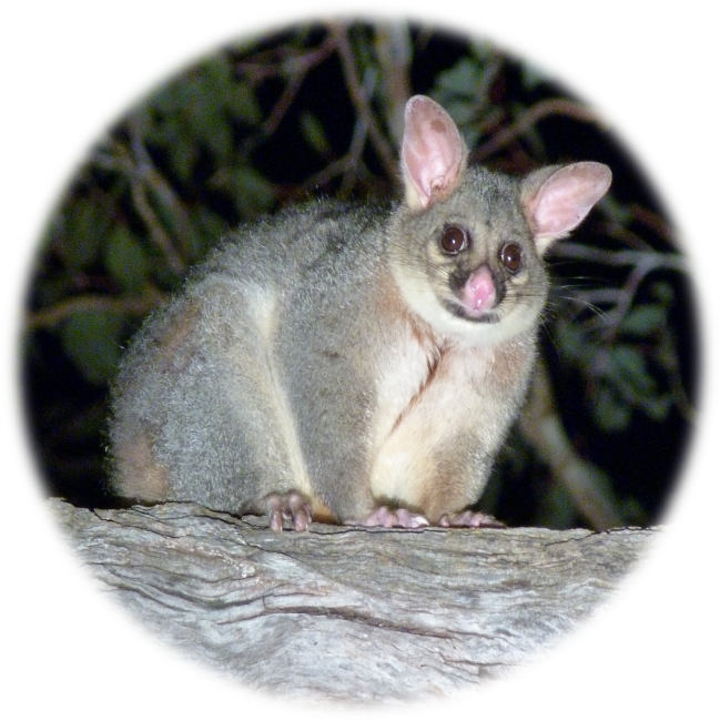 Stagwatching and how possums survive bushfires on ABC Radio National, 29 March 2014