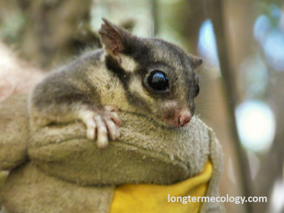 The critically endangered Leadbeater's Possum, Victoria's faunal emblem, which is extremly dependent on large old trees for their survival.