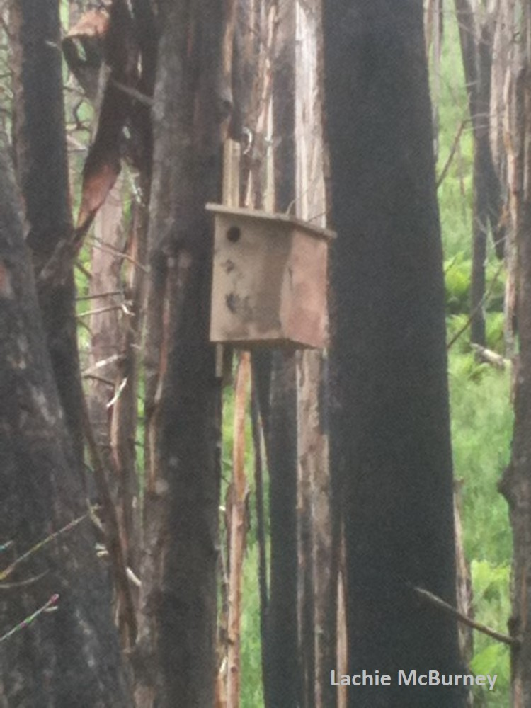 This nest box is the only one to survive in a cluster of 40 boxes following the Black Saturday fire in 2009.  A nest box in the Mountain Ash has a lifespan of 5 years.
