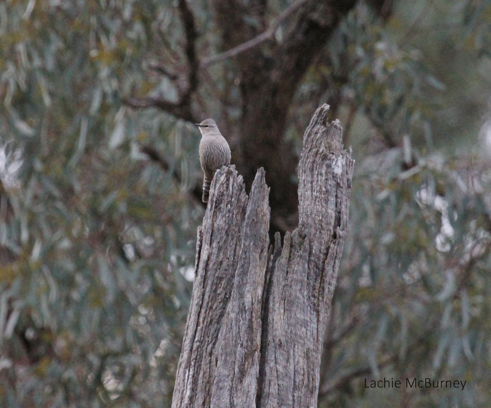 "This Brown Treecreeper was hard to spot from a distance, but its loud ""spink"" call gave it away.     Photo: Lachie McBurney."