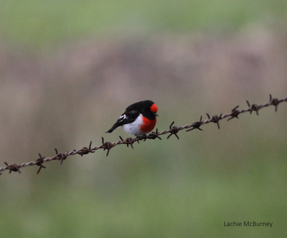 "Red-capped Robins are always a delight,  added this to an enormous photo collection of ""birds on fences"".     Photo: Lachie McBurney."