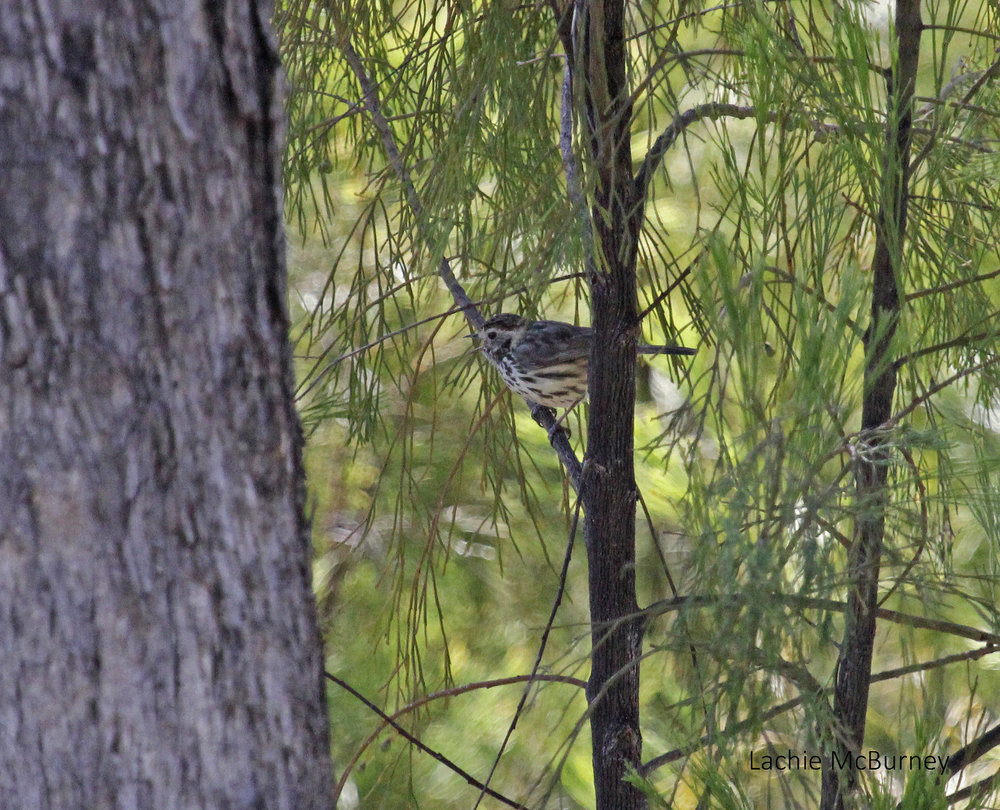 Speckled Warbler doing its raspy alarm call.     Photo: Lachie McBurney.