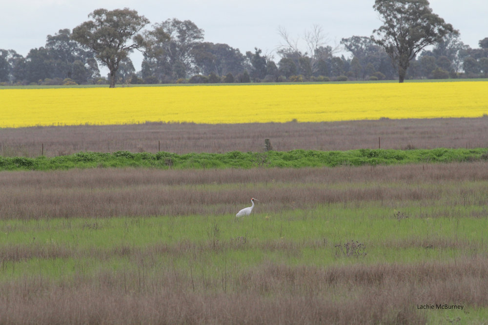 I spotted this Brolga near one of our monitoring plots and stopped for a look.  A car pulled over for a chat and the driver was the property owner who pointed out the second of the pair, on a nest nearby!  Nothing like some local interpretation.     Photo: Lachie McBurney.