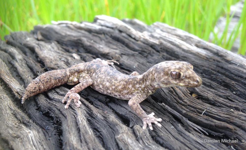 Diplodactylus tessellatus