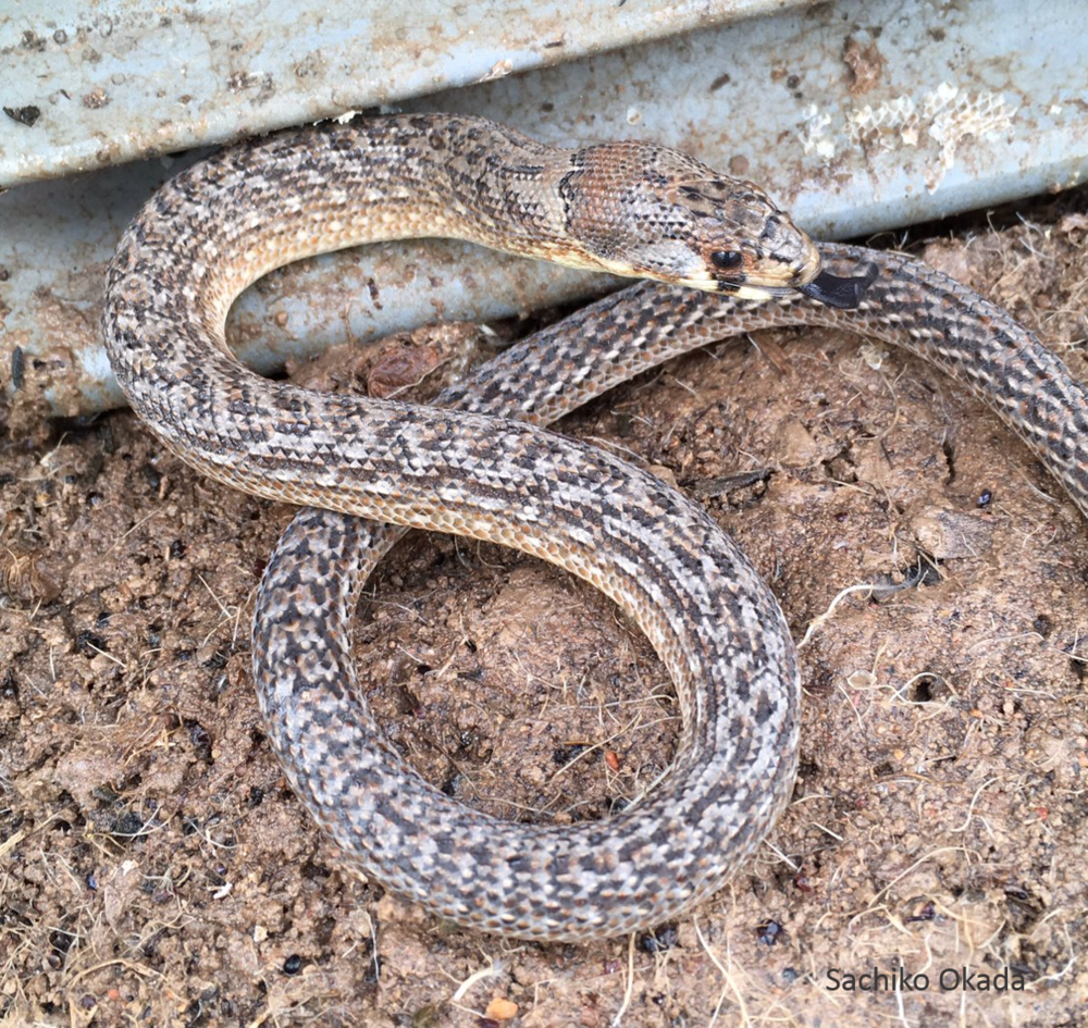One of the wettest September's on record drove many reptiles above ground, such as this Eastern Hooded Scaly-foot, a harmless legless lizard. They usually reside in spider burrows and soil cracks and are rarely recorded during daytime surveys. Photo: Sachiko Okada