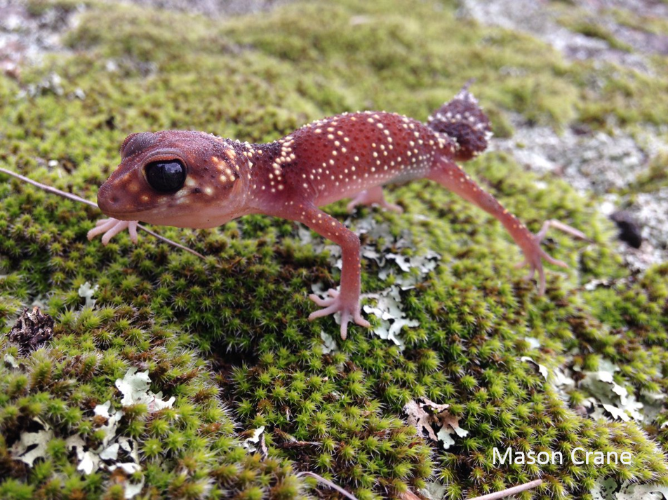 One of Australia's most distinctive reptiles, the Thick-tailed Gecko is a social species with several usually found together. Photo: Mason Crane.