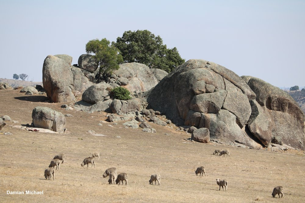 Ø Many insular granite outcrops in agricultural landscapes are cleared of native vegetation and harbor invasive weeds and feral animals.