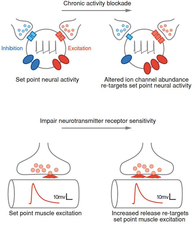 Intro to Neural Homeostasis — Graeme Davis Laboratory