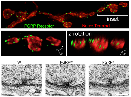 Harris N, Braiser DJ, Dickman DK, Fetter RD, Tong A, Davis GW. (2015) The Innate Immune Receptor PGRP-LC Controls Presynaptic Homeostatic Plasticity. Neuron. 88, 1157-64.  The brain is immunologically active. However, it remains generally unknown whether innate immune signaling has a function during the day-to-day regulation of neural function in the absence of pathogens or damage. We identify a novel, neuronal function for an innate immune receptor (PGRP-LC), demonstrating a required during homeostatic synaptic plasticity. PGRP-LC is a candidate receptor for retrograde, trans-synaptic signaling, a novel activity for innate immune signaling in any organism.  -