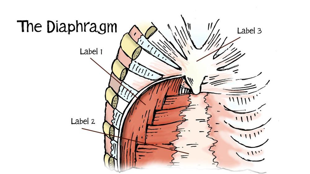 2.+Diaphragm.jpg
