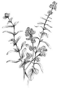 Eycalytpus.jpg