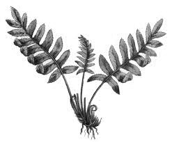 fern illustration