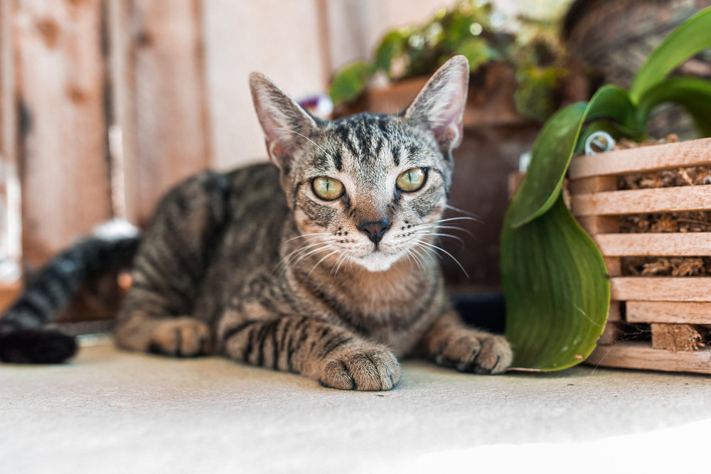 Foxy + Scout - rescue bengal tabby green eyes tiger leopard cats 28.jpg