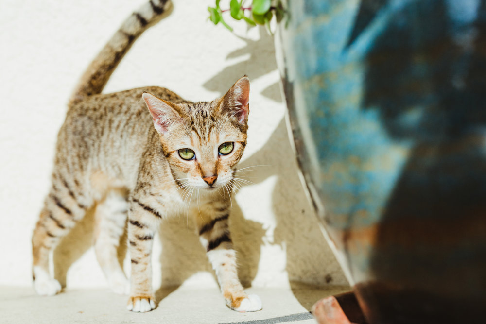 Foxy + Scout - rescue bengal tabby green eyes tiger leopard cats 35.jpg