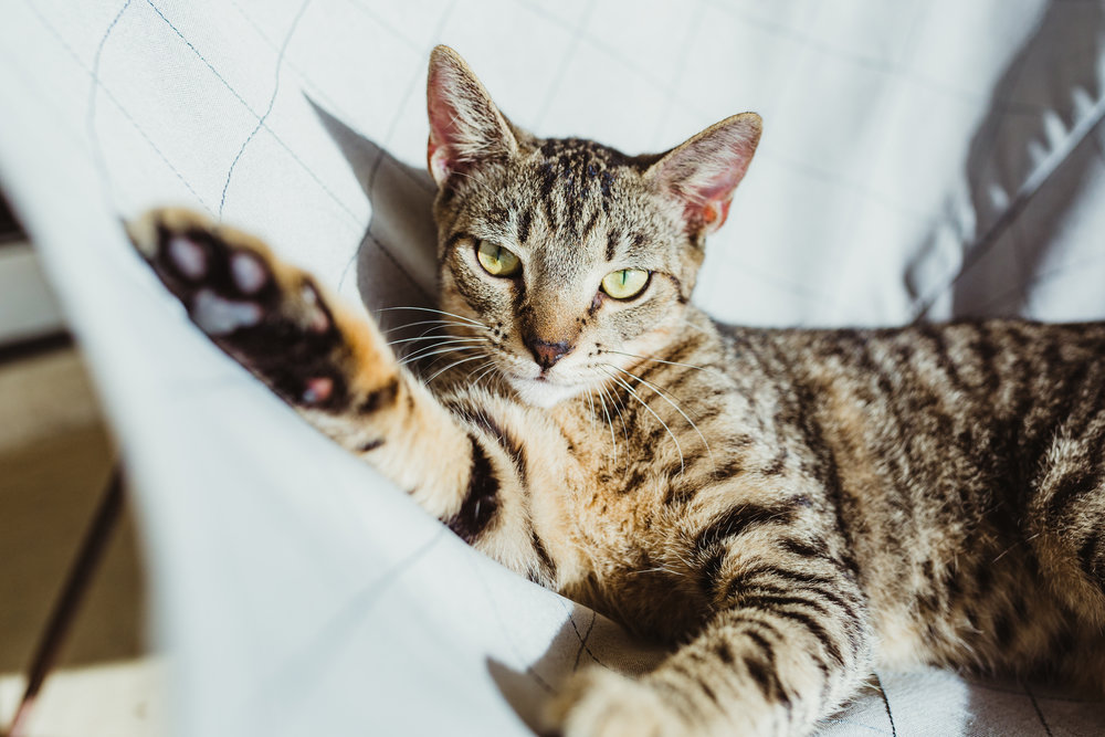 Foxy + Scout - rescue bengal tabby green eyes tiger leopard cats 37.jpg