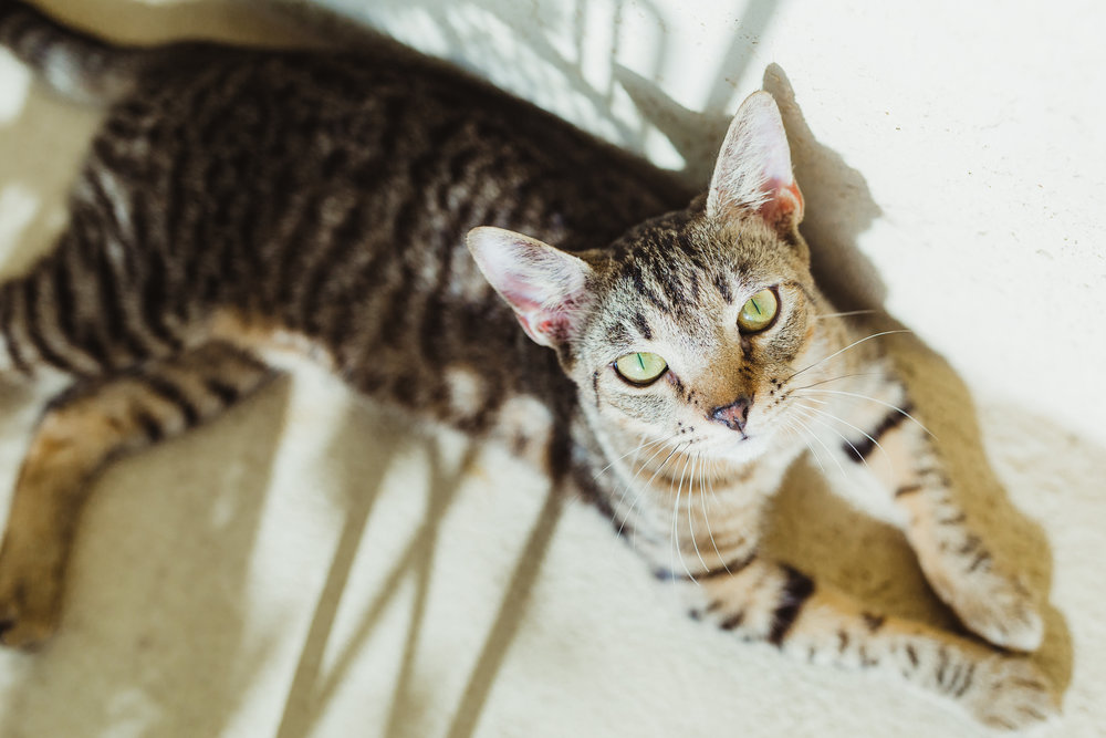 Foxy + Scout - rescue bengal tabby green eyes tiger leopard cats 34.jpg