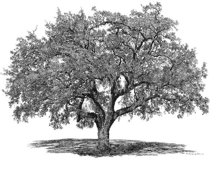 live oak tree.jpg