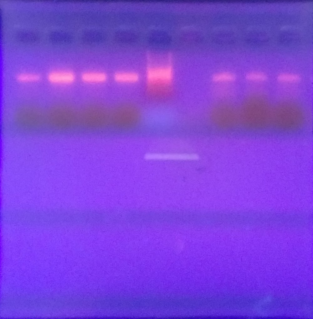 PCR results for insect ID