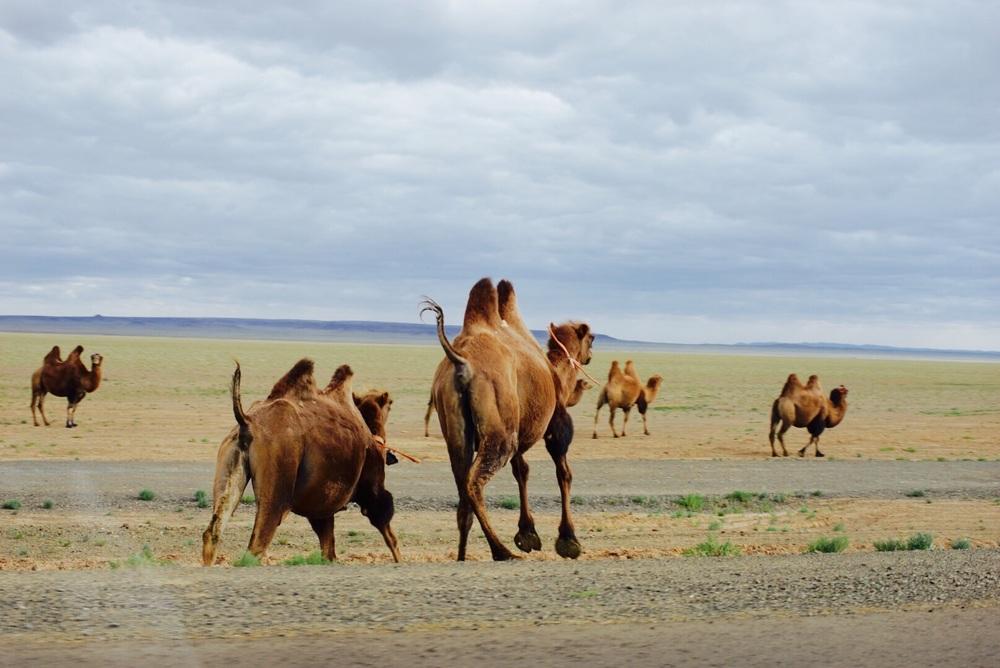 Camelos em fuga!