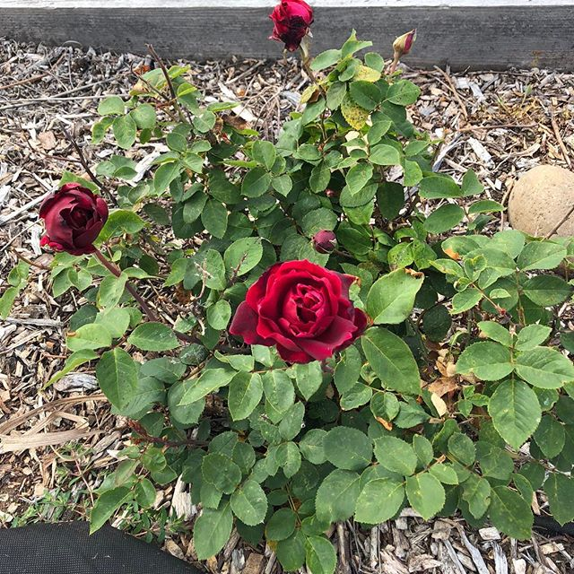 This rose was there to greet me this morning - it blossomed overnight.  The small things that make me smile help me feel so alive!  So grateful for this beauty to start the day!