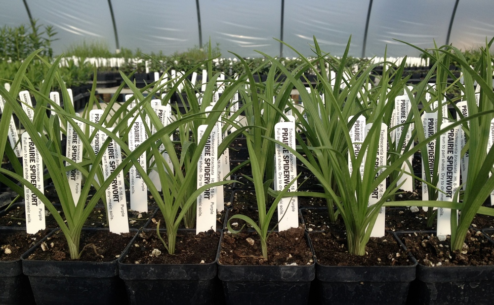 Prairie spiderwort ( Tradescantia bracteata ) ready to be planted in a garden near you!