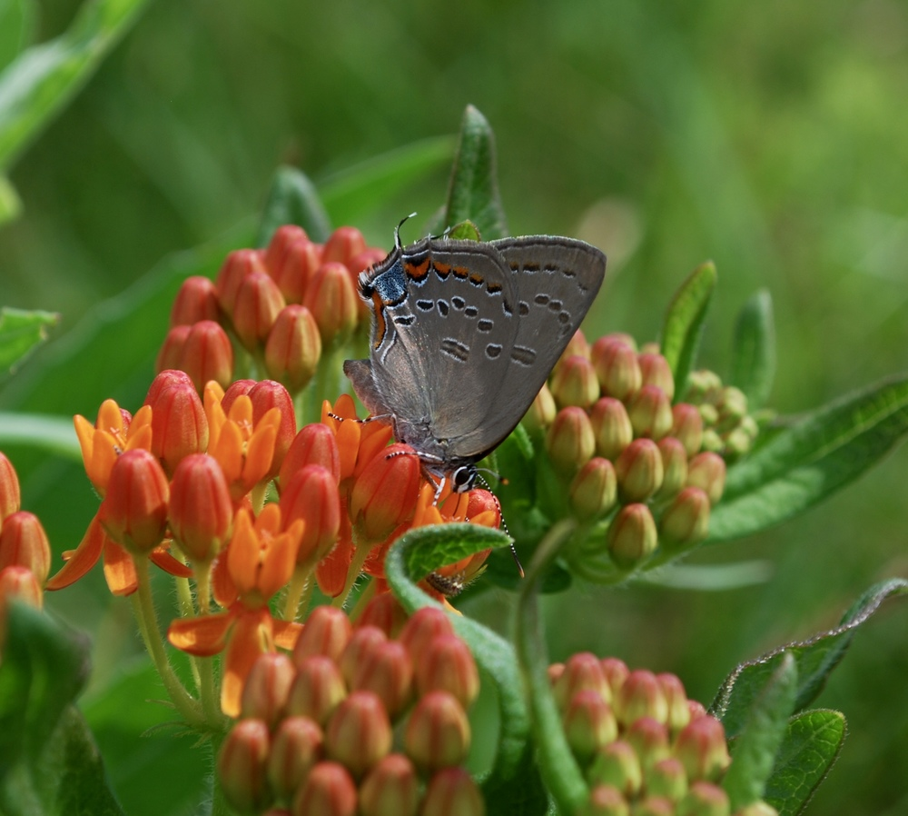 Edwards' hairstreak ( Satyrium edwardsii ) nectaring on Butterfly milkweed ( Asclepias tuberosa )