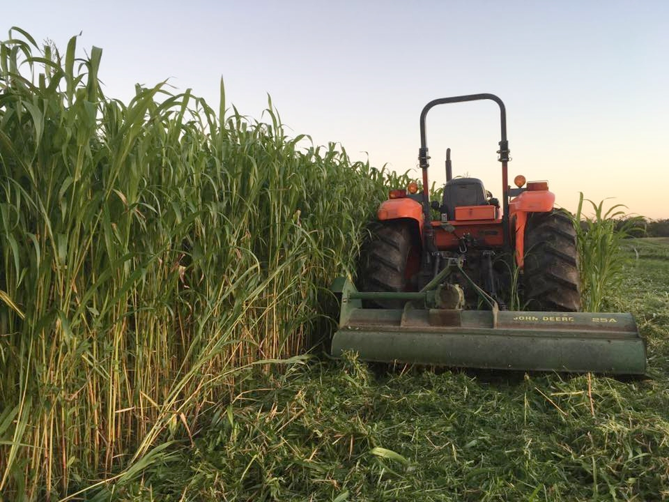 Mowing sorghum-sudan grass, a very productive cover crop!