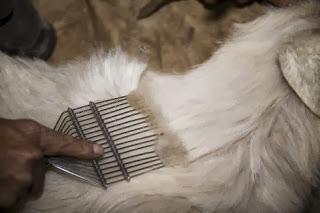 Combing goats