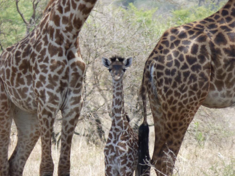 Baby Giraffe.jpg