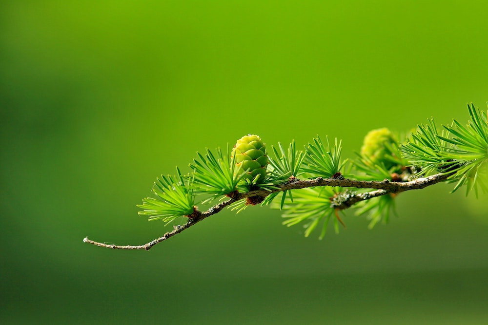 branch-conifer-green-40896.jpg
