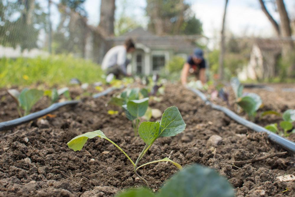Planting Kale Starts-1.jpg