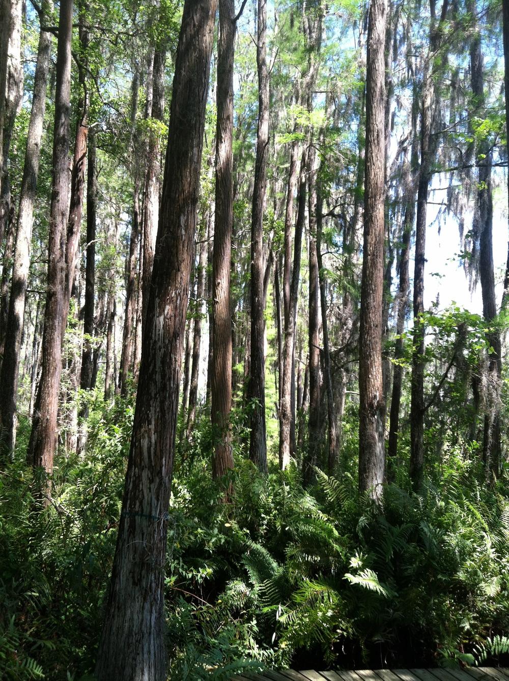 Cypress Trees Hidden Lake.jpg
