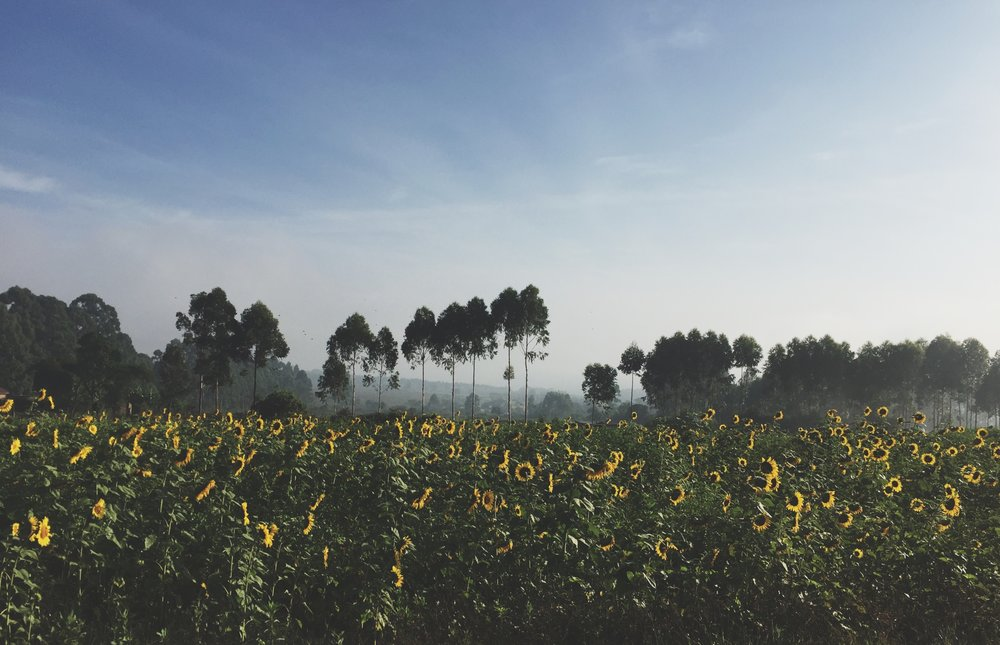 Sunflower field while driving thru Kenya.