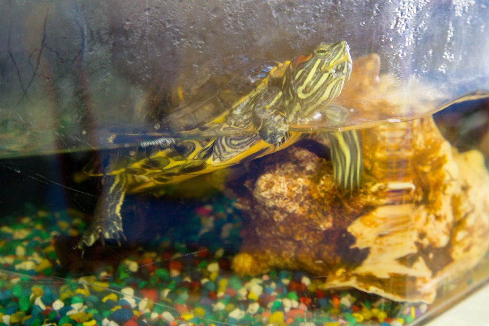 The Sunflower Room's pet turtle, Noodle! The children observe his feedings and learn about him at Center Time.