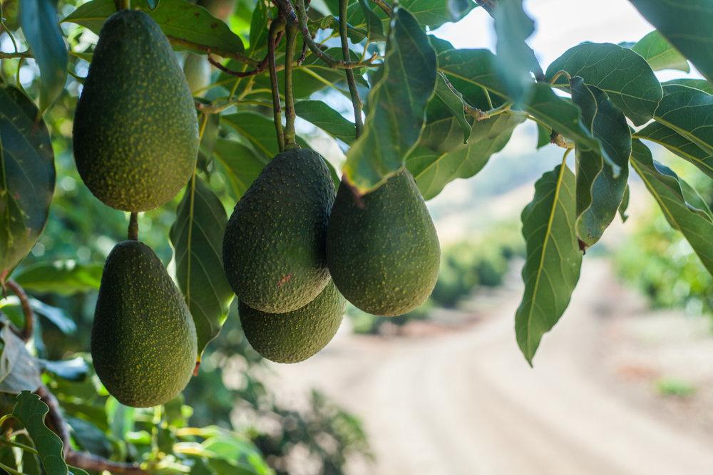 HANG TIME    Hass avocados ripen to creamy perfection on Bill Coy's avocado farm, Rancho Rio Conejo, tucked away in rural Cayucos.    PHOTO BY AMANDA ROMERO