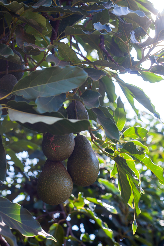 flavor-avocado-pic2-8-25.jpg