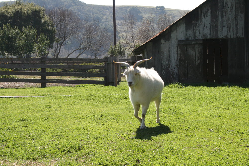 HAPPY GOATS COME FROM CAMBRIA  Chet and Betty are Stolo Family Vineyards' unofficial mascots. The fainting goats graze near the tasting room, not far Cambria's rugged, pristine coastline.