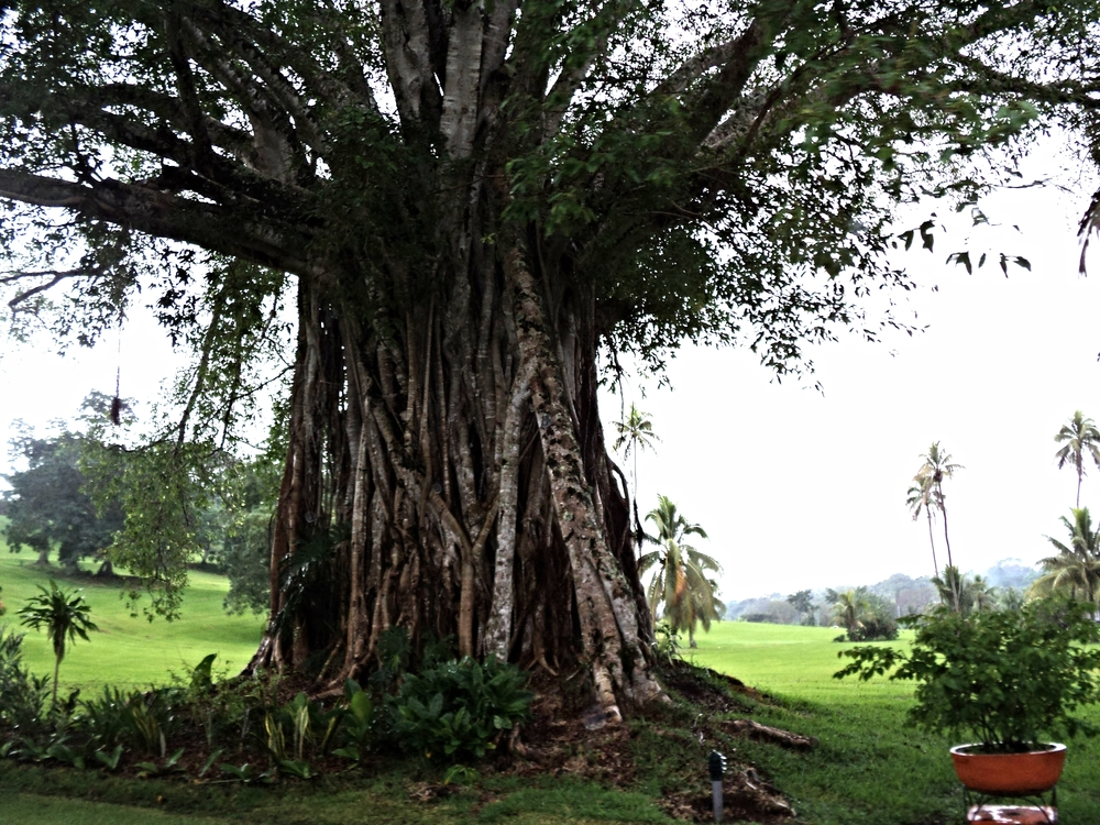 Hmm... 1 tree or 500? Exploring more of Port Vila.